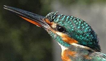 El caminito del rey fauna desfiladero Gaitanes | LaGarganta.com @ctrlagarganta