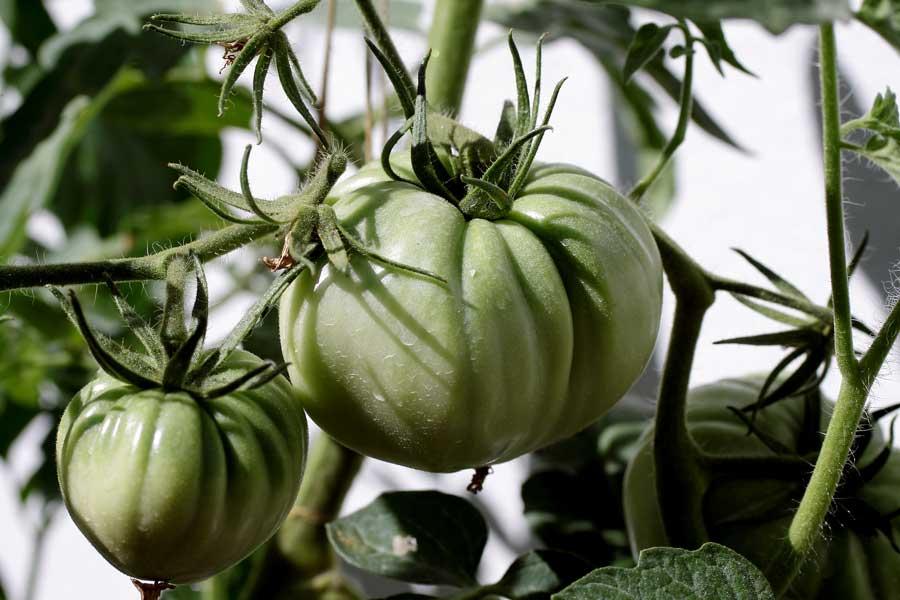 Planta del Tomate Huevo de Toro