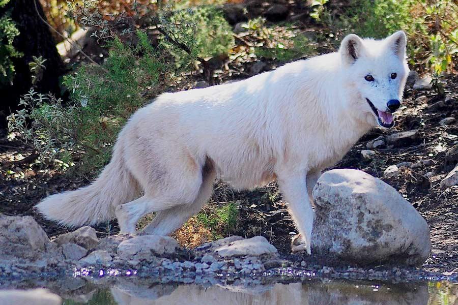 Lobo en hábitat natural en Lobo Park Antequera